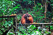 Orangutan Photos - Big Male Of Orangutan by Gualtiero Boffi