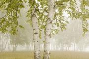 Foggy Day Prints - Birch Trees In The Fog Thunder Bay Print by Susan Dykstra