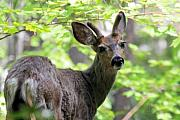 Black-tail Posters - Black tail Deer in the dense forest of Anderson Lake B.C Poster by Pierre Leclerc
