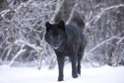 Furry Wolf Framed Prints - Black Wolf in Snow Framed Print by John Hyde - Printscapes