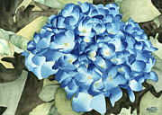 Watercolour Prints - Blue Hydrangea Print by Ken Powers