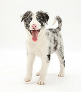 Panting Dog Posters - Blue Merle Border Collie Pup Poster by Mark Taylor