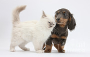 Dachshund Puppy Posters - Blue-point Kitten & Dachshund Poster by Mark Taylor