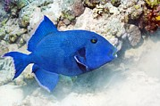 Reef Fish Posters - Blue Triggerfish Poster by Georgette Douwma