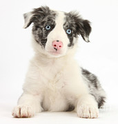 Perky Prints - Border Collie Pup Print by Mark Taylor