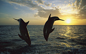 Ocean Mammals Metal Prints - Bottlenose Dolphin Tursiops Truncatus Metal Print by Konrad Wothe