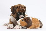 Boxer Posters - Boxer Puppy And Guinea Pig Poster by Mark Taylor