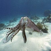 Threatening Prints - Broadclub Cuttlefish Print by Peter Scoones