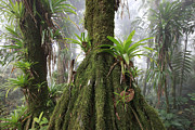 Epiphyte Metal Prints - Bromeliad Bromeliaceae And Tree Fern Metal Print by Cyril Ruoso