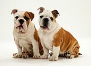 Bulldog Pups Print by Jane Burton