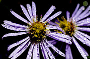 Aster  Photo Framed Prints - Bushy Aster with Dew Framed Print by Thomas R Fletcher