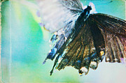 Black Swallowtail Prints - Butterfly Print by Kim Fearheiley
