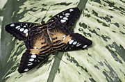 Matting Photo Posters - Butterfly Poster by Nick Mares