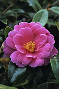 Camellia Photo Metal Prints - Camellia Flower Metal Print by Adrian Thomas
