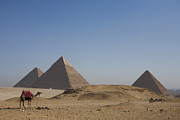 Camel Photos - Camels At The Great Pyramids At Giza by Taylor S. Kennedy