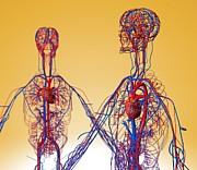 Cava Prints - Cardiovascular System, Artwork Print by Roger Harris