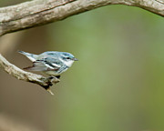 Wood Warbler Prints - Cerulean Warbler Print by James Mundy