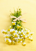 Tied Metal Prints - Chamomile flowers Metal Print by Elena Elisseeva