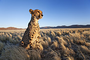 Cheetah Photos - Cheetah In Desert Environment by Martin Harvey