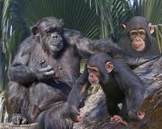 Chimpanzee Photo Posters - Chimpanzee Montage Poster by Larry Linton