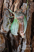 Cicada Photos - Cicada Metamorphosis by Ted Kinsman
