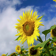 France Photos - Close up of sunflower by Bernard Jaubert