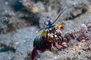 Papua New Guinea Framed Prints - Close-up View Of A Mantis Shrimp, Papua Framed Print by Steve Jones