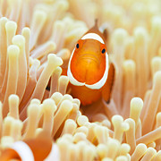 Clownfish Prints - Clownfish Print by MotHaiBaPhoto Prints
