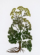 Apiaceae Posters - Cymopterus Lemmonii, Mountain Parsley Poster by Science Source