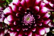 Dahlias - Dahlia by Cathie Tyler