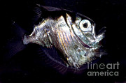 Mesopelagic Art - Deep Sea Hatchetfish by Dante Fenolio