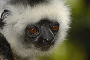 Madagascar National Park Prints - Diademed Sifaka Propithecus Diadema Print by Pete Oxford