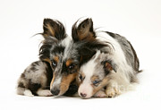 Shetland Dog Prints - Dog And Pup Print by Jane Burton