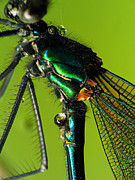 Sweating Posters - Dragonfly in drops Poster by Odon Czintos
