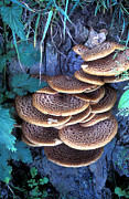 Dryad Posters - Dryads Saddle Fungi Poster by Dr Keith Wheeler