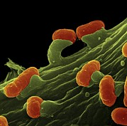 Pathogenic Photos - E. Coli Bacteria, Sem by