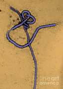 Microscopic Art - Ebola Virus, Tem by Science Source