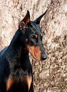 Doberman Framed Prints - Elegant Framed Print by Rita Kay Adams