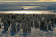 Sundown Prints - Emperor Penguin Aptenodytes Forsteri Print by Pete Oxford