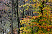 American Sycamore Prints - Fall along West Fork River Print by Thomas R Fletcher
