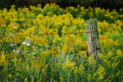 Goldenrod Flowers Prints - Fence Post Print by Michael Peychich