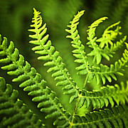 Fern Framed Prints - Fern leaf Framed Print by Elena Elisseeva