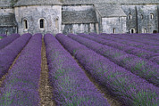 Abbaye Prints - Field Of Lavender Print by David Nunuk