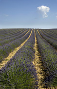 Complementary Color Prints - Field of lavender. Provence Print by Bernard Jaubert