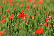 Red Flower Photos - Field of poppies. by Bernard Jaubert