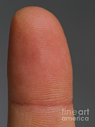 Finger Prints - Fingertip Showing Fingerprint Ridges Print by Photo Researchers, Inc.