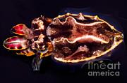 Flamboyant Cuttlefish Print by Dante Fenolio
