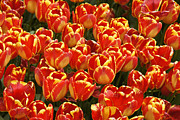 Flaming Tulips Print by Michele Burgess