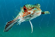 Trawler Metal Prints - Flying Gurnard In A Fishing Net Metal Print by Angel Fitor