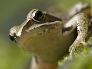 Southern Illinois Photos - Frog look by Odon Czintos